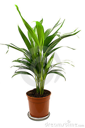 Home plant in flowerpot. Isola
