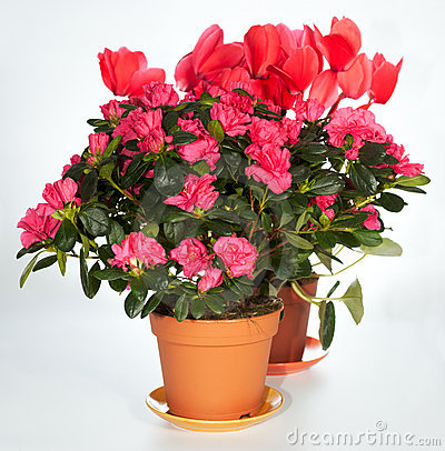 Free Home Plants Group (azalea, Cyclamen) Stock Photography - 5501652