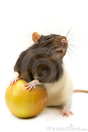 Home rat with apple