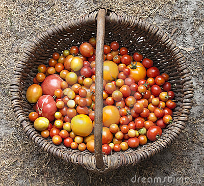 Home yield different tomatoes Editorial Photo