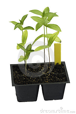 Homegrown seedlings of zinnia ready for transplant