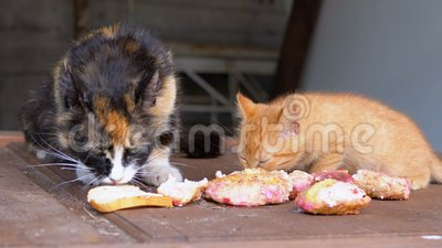 Homeless Driekleursing Cat Eating Meat with Kittens on the Street stock footage