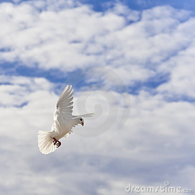 Homing pigeon in the sky