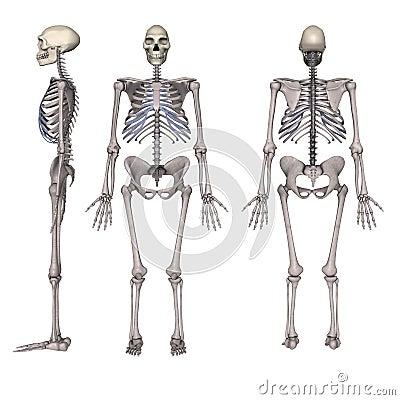 Het geraamte van de krokodil besides Human Body Muscle Tissue as well Anatomy Of The External Eye Lebeled Diagram Of Human Eye Anatomy Human Body besides Labeled Diagram Of Muscle Tissue also Stock Photo Homo Erectus Image10635650. on skeletal system