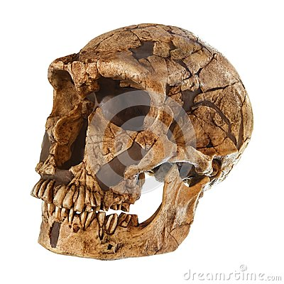 Free Homo Neanderthalensis Skull .  La Ferrassie  . Dated To 50,000 Years Ago . Discovered In 1909 In La Ferrassie , France Stock Image - 101084551