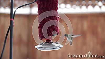 Honale Anna's Hummingbird-matning från röda hobbyfeeder i vintertid lager videofilmer