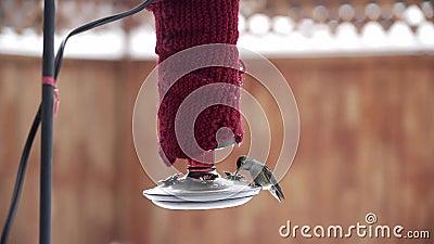 Honale Anna's Hummingbird-matning från röda hobbyfeeder i vintertid stock video