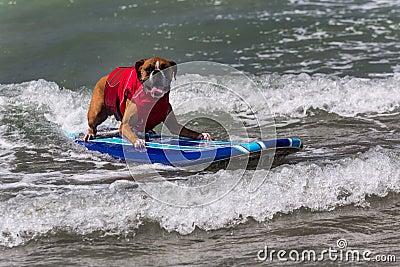 Hond berijdende golven op surfplank Redactionele Fotografie