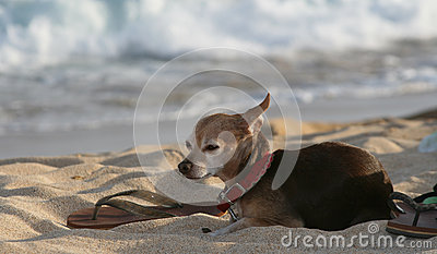 Hond bij strand met sandla