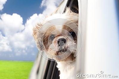Hond die van een rit geniet