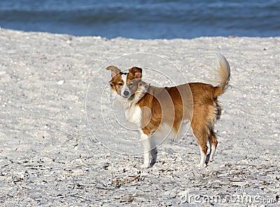 Hond van het Sheltie de Collie Papillon gemengde ras.