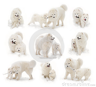 Hond van Samoyed en samoyed puppy