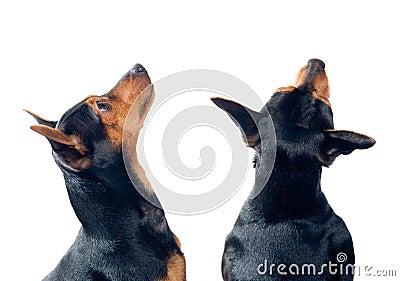 Honden die omhoog eruit zien