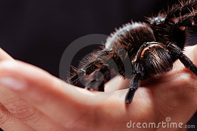 Honduran Curlyhair Tarantula on the hand