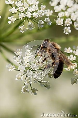 Free Honey Bee Royalty Free Stock Photos - 5659818