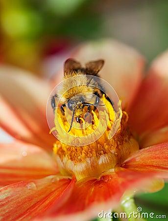 Free Honey Bee (Apis Mellifera) On Dahlia Flower Stock Photo - 27164770