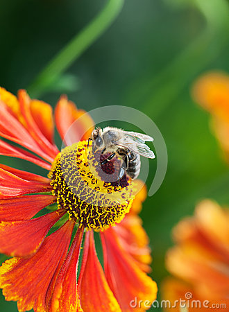 Free Honey Bee (Apis Mellifera) On Helenium Flower Stock Images - 27165054