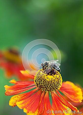 Free Honey Bee (Apis Mellifera) On Helenium Flower Stock Images - 27165114