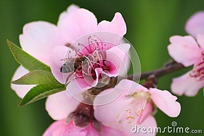 Honey bee on blossom