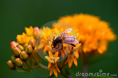 Honey bee and butterfly weed