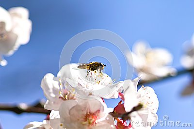 Honey bee on cherry blossom