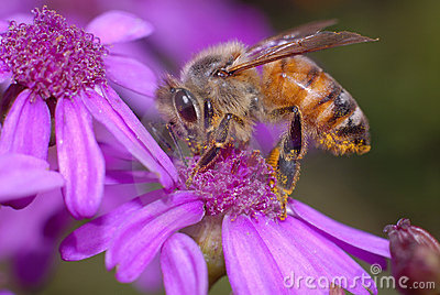Honey Bee on Cineraria Flower