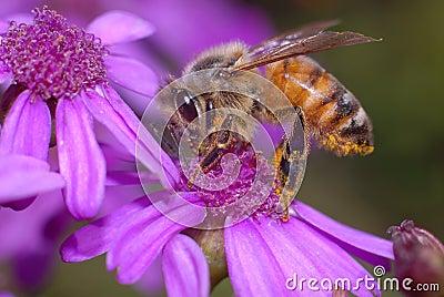 Honey Bee on Cineraria Flower