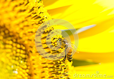 Honey bee collects flower nectar from sunflower