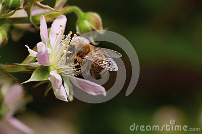 Honey bee collets flower nectar,