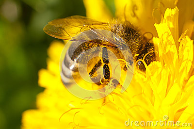 Honey bee covered in pollen