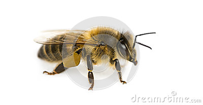 Honey bee in front of a white background Stock Photo