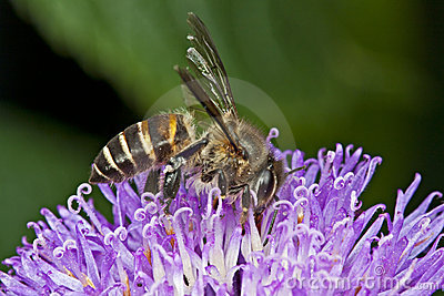 Honey Bee harvesting nectar
