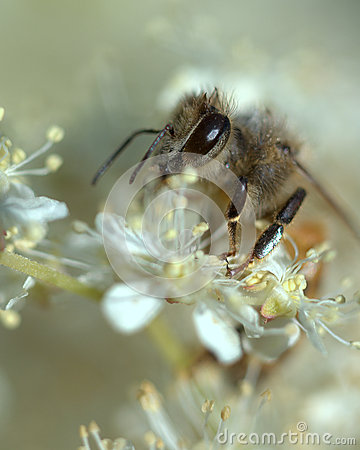 Free Honey Bee In A White Dream Stock Images - 61250944