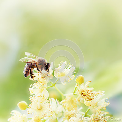 Free Honey Bee Pollinate Yellow Flower, Beauty Filter Royalty Free Stock Photos - 89736898