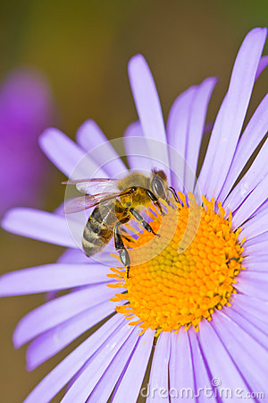 Honey bee pollinating flower