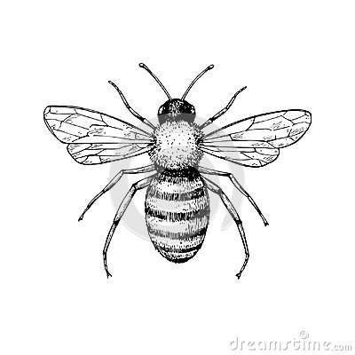 Honey bee vintage vector drawing. Hand drawn isolated insect ske Vector Illustration