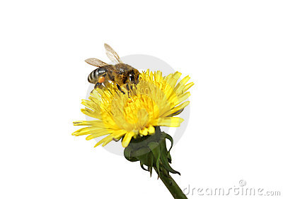 Honey Bee On An Yellow Dandelion Flower Stock Photography - Image: 19551822