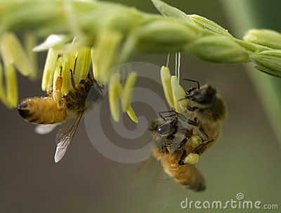 Spring with honey bees on corn flowers working