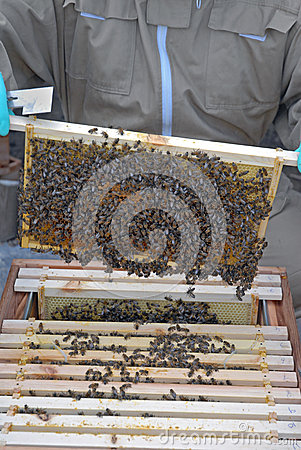 Honey Bees Removed From the Hive