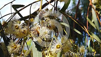 Honey Bees sur l'eucalyptus fleurit le mouvement 03 lent banque de vidéos