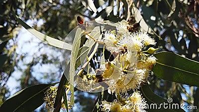 Honey Bees sur l'eucalyptus fleurit le mouvement 02 lent clips vidéos