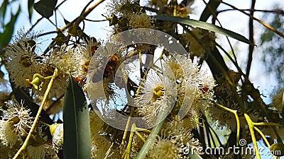 Honey Bees sur l'eucalyptus fleurit le mouvement 04 lent banque de vidéos