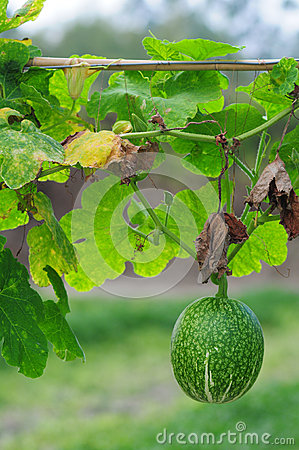 Free Honey Dew Melon Stock Photo - 29181120