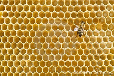 Honeybee on a comb