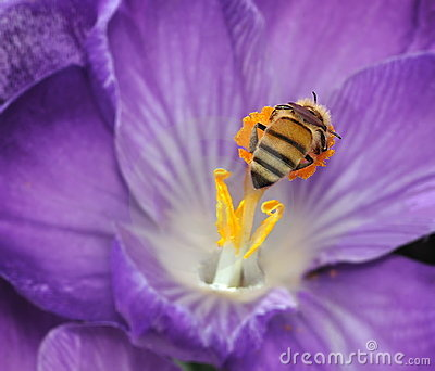 Honeybee At A Crocus Flower (Apis mellifera)