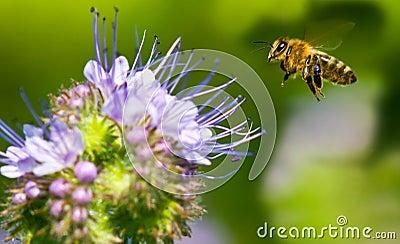 Honeybee Flying to Phacelia