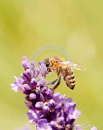 Free Honeybee On A Flower Bloom Of Purple Lavender Royalty Free Stock Images - 74016019