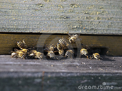 Honeybees in wood hive