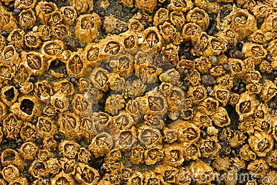 Honeycomb Barnacles