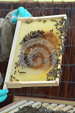 Honeycomb Section From Bee Hive